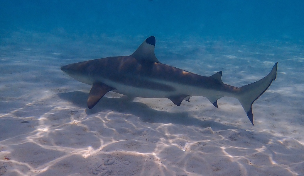 A Black Tip Reef Shark is an alpha predator in the waters of the South Pacific