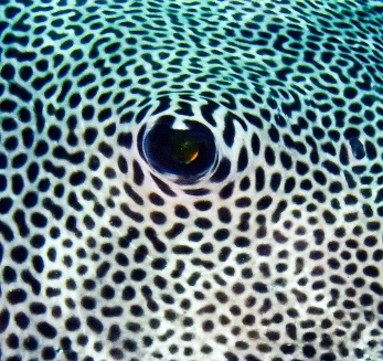 Evolution: One Pufferfish is colored black with white spots while another swimming right next to it is white with black spots