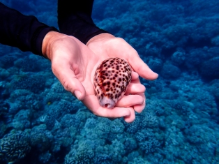 The breathtaking beauty of a live Cowrie, gently released back to its place on the reef after the photograph
