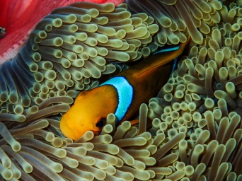 Immune to the stinging tentacles of an anemone, a Clownfish defends its territory