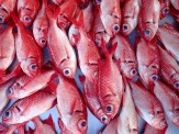The brightly colored Epaulette Soldierfish is a delicacy of French Polynesia