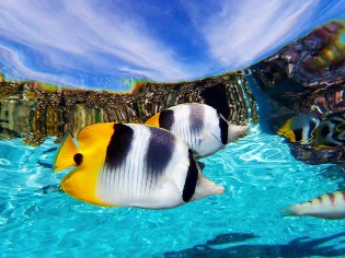 Double-Saddle Butterfly Fish reflect on the surface in the Coral Gardens of French Polynesia