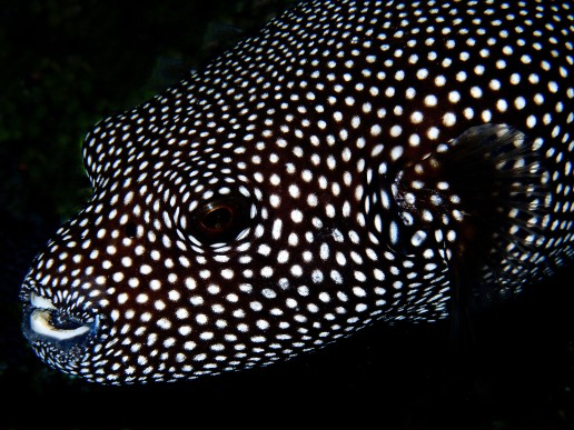 The friendly eye of the Pufferfish belies the fact that some species carry a toxin 1,200 times more deadly than cyanide