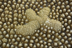 A colony of coral polyps morphs into an unusual pattern
