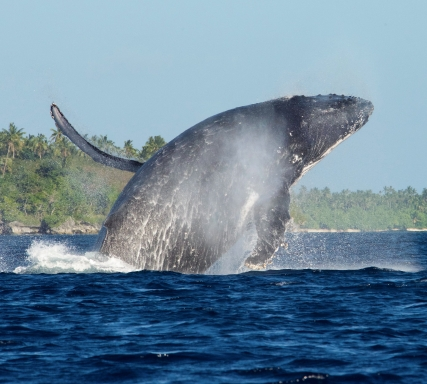 A Humpback Whale, close to shore, breaches in the Ha'apai Islands
