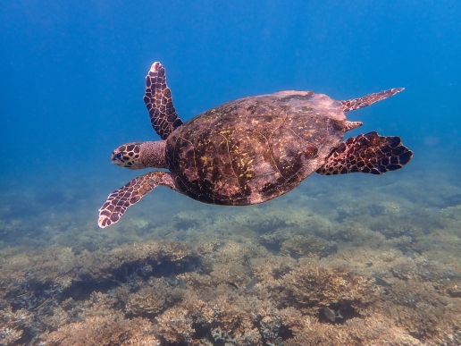 A hawksbill turtle takes flight in the calm, clear waters of Islas Perlas