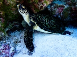 "A Hawksbill Turtle sleeping under a coral ledge says, ""Hey, a little privacy please!"""