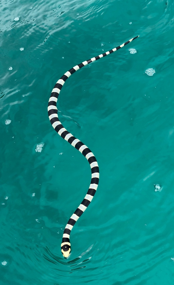The highly venomous black banded sea kraits are not aggressive but a Polynesian fisherman was killed by one this year when it became entangled in his nets and bit him