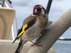 This storm-battered European Goldfinch takes refuge aboard Flying Fish after a gale from the Tasman Sea