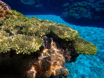 Giant Pacific Clams and yellow coral highlight the reef line at South Minerva