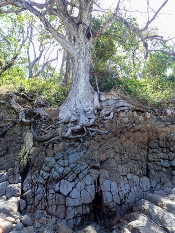 Natural erosion has provided a picture of resiliency as this tree holds on to the shoreline