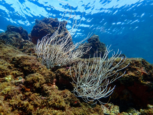 Soft coral branches wave in the tidal current