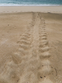 A nesting turtle leaves her footprints--and her eggs--on this Islas Perlas beach