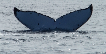 A Humpback Whale goes vertical in a dive