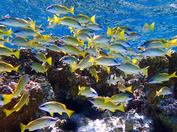 A school of curious Blue-Line Snappers congregate in the clear water of South Minerva Reef