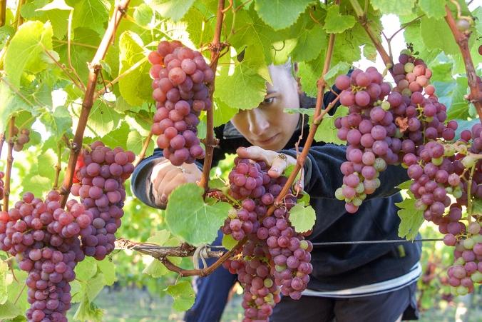 Harvest Sarah.sm