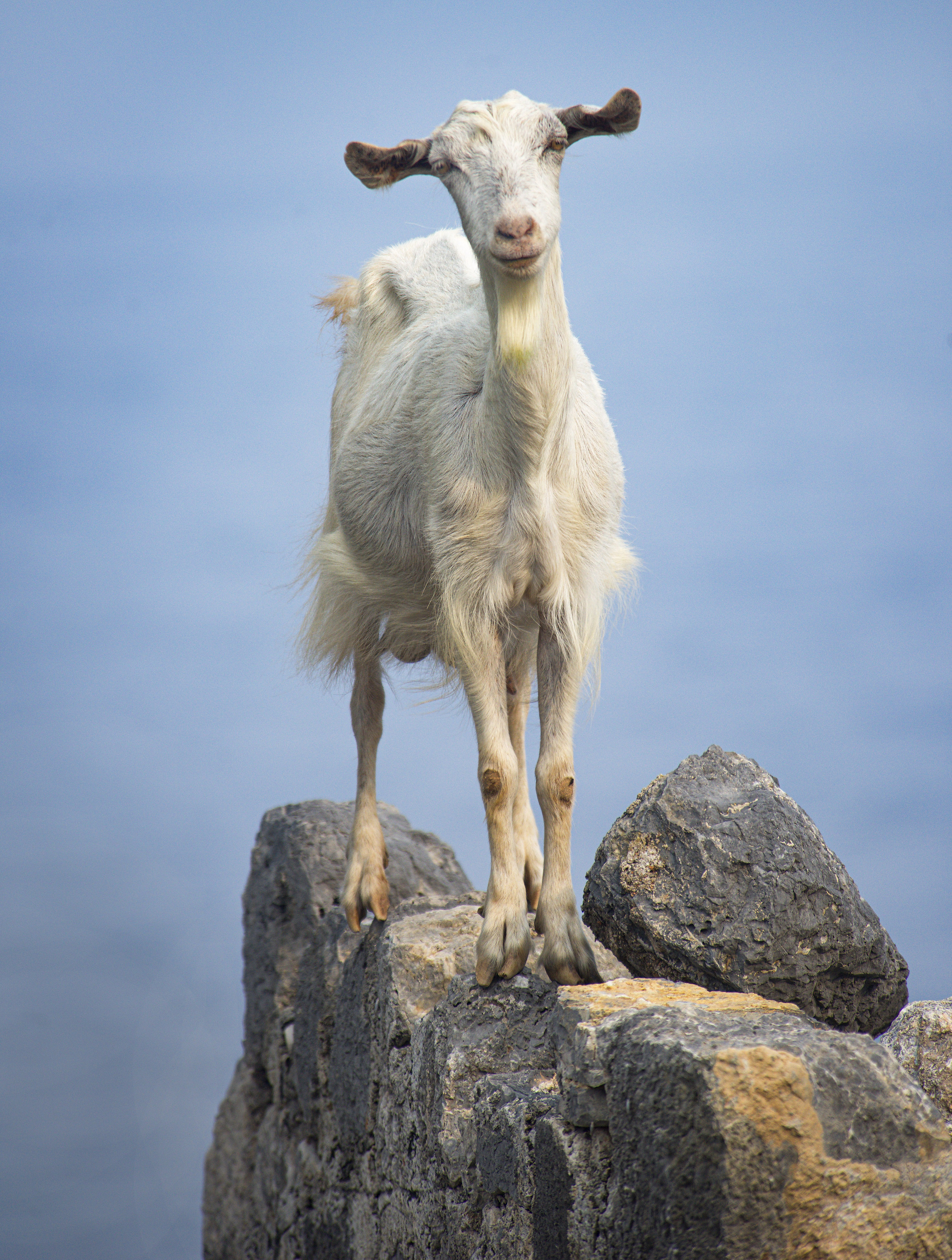 karacaoren-white-goat-sm